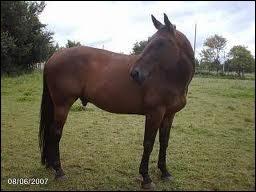 Quel est le nom du cheval mâle castré ?