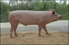 Dans la famille  Cochon , qu'est-ce qu'un verrat ?