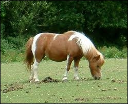 Qu'est-ce qu'un poney ?