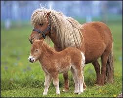 Comment est appelé le bébé poney ?