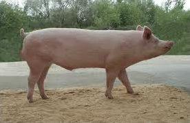 Boeuf, cochon, cheval et leur famille au complet !