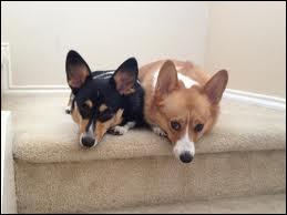 De quelle race sont Monty et Willow, les chiens de la reine Elizabeth II ?