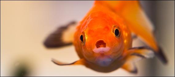 Qui a un poisson rouge ?