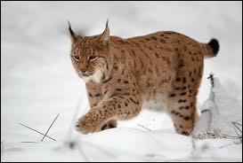 """Quel est ce félin appelé aussi """"Loup cervier"""" qui subsiste encore dans le Jura et les Alpes suisses, et dont on voit encore très rarement quelques spécimens en France ?"""