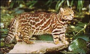 """Quel est ce félin appelé aussi """"chat des Pampas"""", vivant en Amérique du Sud et pesant entre 3 et 7 kg ?"""