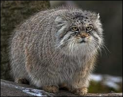 """Quel est ce gros chat sauvage, très rare, appelé aussi """"Chat de Pallas"""" ?"""