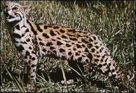 """Quel est l'autre nom du """"chat léopard"""" issu du croisement entre un chat et un léopard d'Asie ?"""