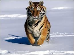 C'est le plus grand carnivore et le plus grand félin sauvage :