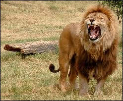"""Vivant en Savane africaine, on le surnomme """"le roi des animaux"""" :"""