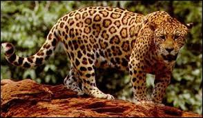Plus grand que le léopard, il vit en Amérique centrale et Amérique du Sud :