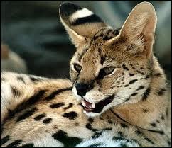 Il ronronne, miaule et nage, son habitat est la Savane africaine :