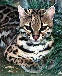 Quel est ce chat sauvage d'Amérique dont la fourrure ocellée lui permet de se fondre dans la forêt et pesant entre 9 et 13 kg ?