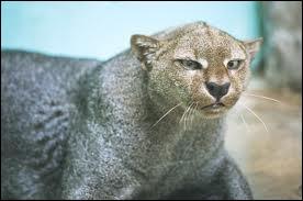 """Quel est ce félin appelé aussi """"chat doré de Bornéo"""" ?"""