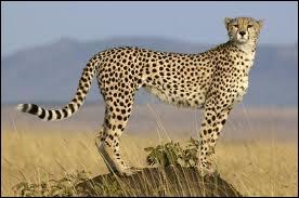 Quel est ce félin d'Afrique réputé pour sa rapidité et pouvant parcourir 70 à 100 km/h ?