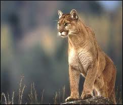 Quel est ce félin appelé aussi cougar ?
