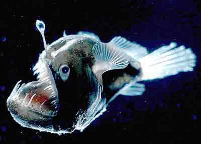Pour attirer leurs proies, certains poissons tels que les baudroies des abysses, agitent une petite lanterne luminescente devant leur gueule. A quelle profondeur vivent-elles ?