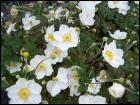 Celles-ci sont blanches et forment un joli contraste avec le feuillage vert foncé. D'autres sont roses. Vivaces robustes qui fleurissent de mi-juillet à fin octobre.