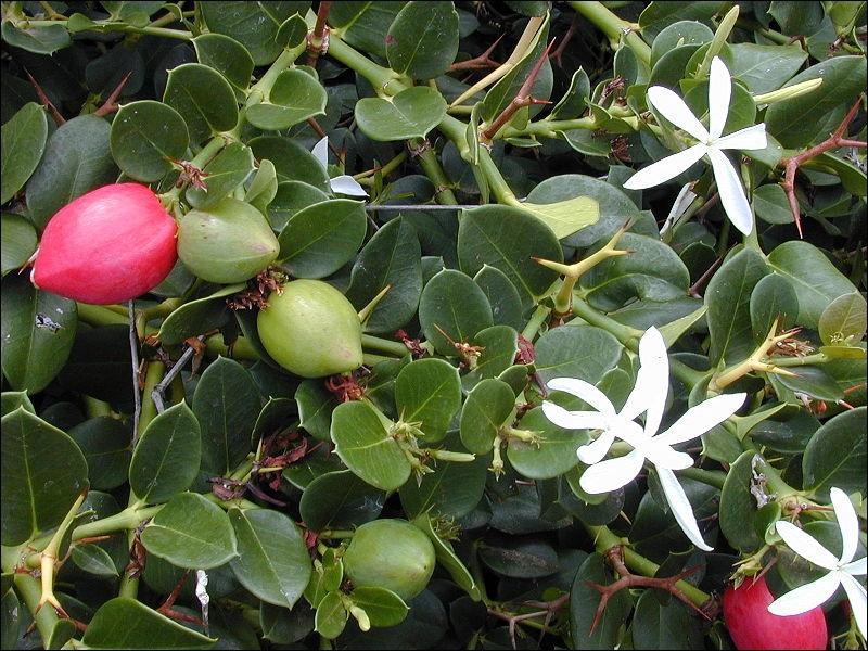 Vous apprécierez l'odeur suave de ses fleurs mais la plante est toxique, de plus il faut se méfier de ses épines. Quel est le nom des petits fruits ?