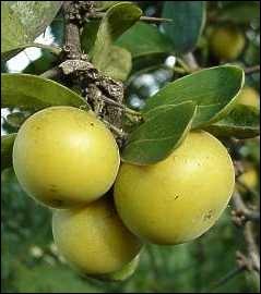 Ses fruits charnus, comestibles, sont excellents en confiture. Vous pouvez utiliser l'arbuste pour vos haies défensives, le feuillage est persistant.