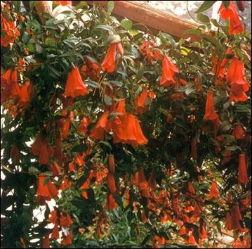 Cette magnifique plante, la Lapageria, a une exceptionnelle floraison. De quel pays s'étendant sur 4 300 kilomètres, est-elle originaire ?