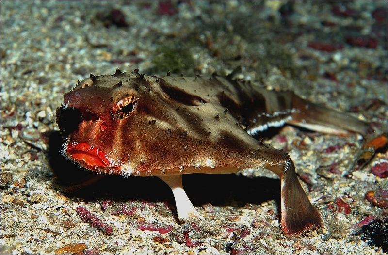 Où peut-on trouver des poissons-chauve-souris à lèvres rouges ? Ce sont de très mauvais nageurs, il leur arrive donc fréquemment de marcher sur le sol marin .