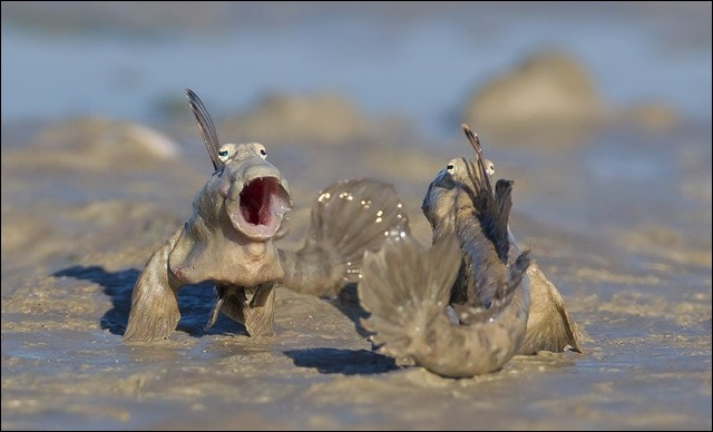 Le gobie sauteur (Periophthalmus gracilis) est un poisson qui est capable de se déplacer à l'air libre provisoirement à la recherche d'insectes. Quel type de sol ne peut-il pas parcourir ?