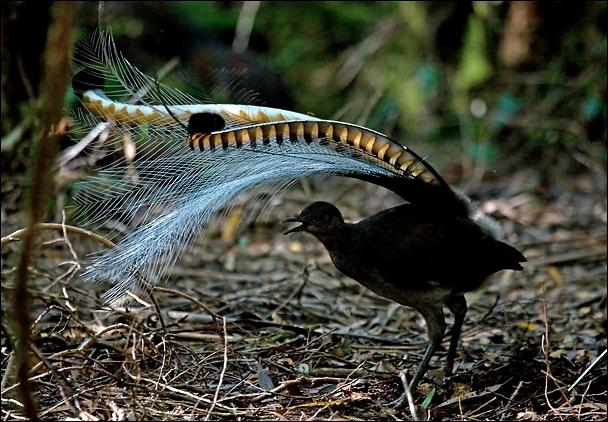 Comment s'appelle cet oiseau australien d'un mètre de long ? Il a la capacité d'imiter correctement une grande variété de sons .