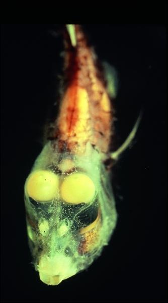 L'opisthoproctus soleatus est un poisson abyssal des régions tropicales. De quelle forme sont ses yeux ?