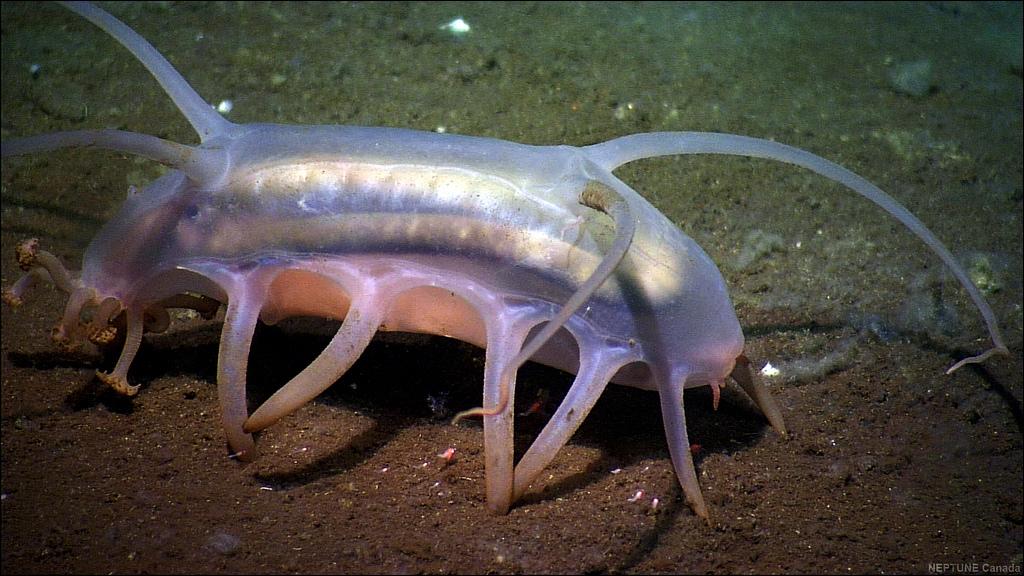 Quel nom donnent les scientifiques à ce scotoplanes mutabilis ? C'est un concombre de mer abyssal de 15 cm de long