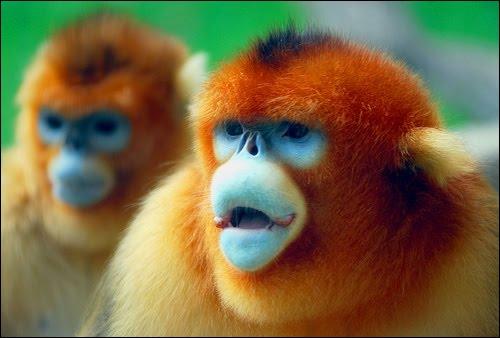 Quel est le nom de ce petit singe chinois ?