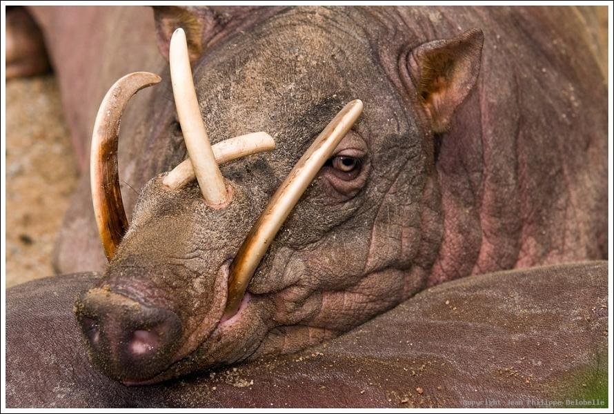 Le babiroussa des Célèbes est un porc asiatique en voie d'extinction, babiroussa signifie  porc-cerf . Combien d'individus dénombre-t-on maintenant ?