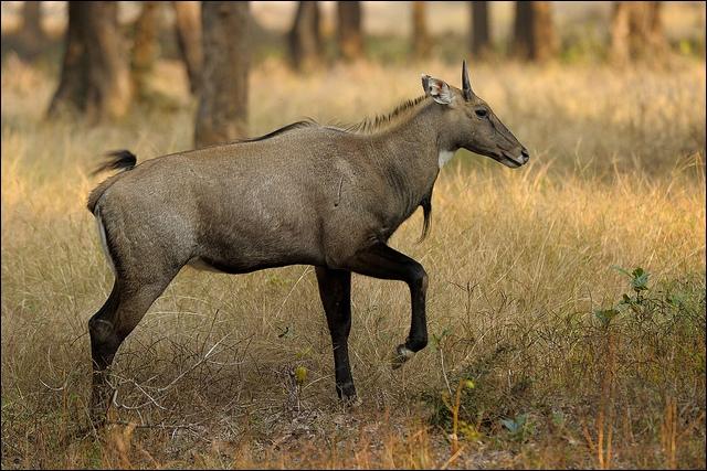 Quel est le nom de cette antilope indienne ? Elle mesure 1, 40 m de haut et peut courir à plus de 80 km/h. Son nom signifie  vache bleue .