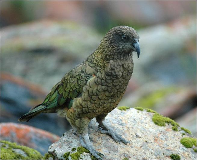 Le Kéa (nestor notabilis) est un oiseau doté d'une rare intelligence, quel surnom lui a-t-on donné à cause de sa curiosité ?