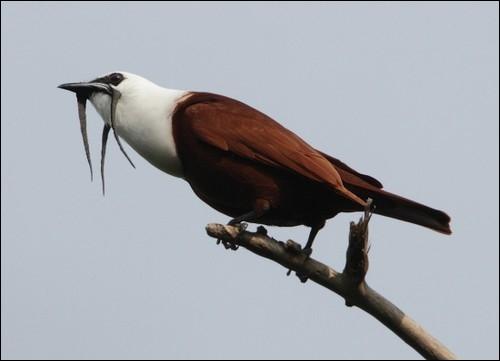 Quel est le nom de cet oiseau d'Amérique centrale ? Il a de petites excroissances noires qui sortent du bec comme celles des coqs .