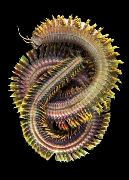 A quel type de ver appartient celui-ci ? Il vit dans les fonds marins à plus de 4 000 m de profondeur .