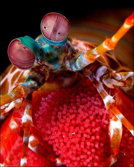 Cet animal possède la meilleure vision du monde. Qu'est-ce qui est faux concernant les yeux de la crevette-mante ? (Ce n'est d'ailleurs ni une crevette, ni une mante)