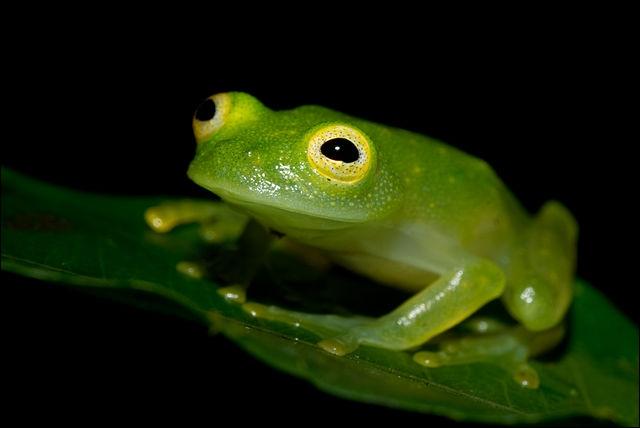Quel est le nom de l'hyalinobatrachium colymbiphyllum ? Cette espèce vit en Amérique Centrale.