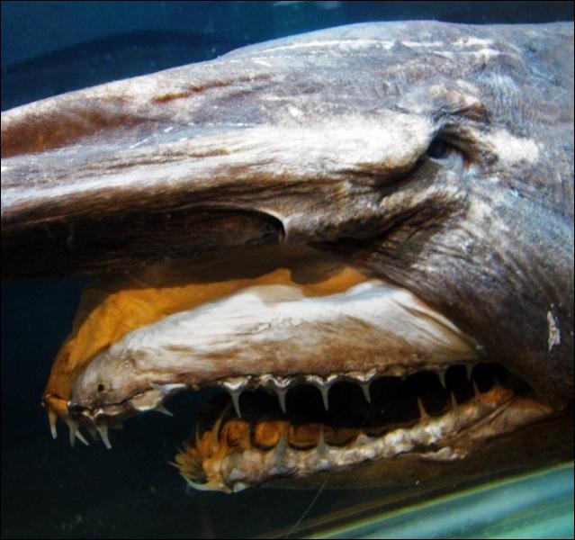 À quel requin appartient cette tête ? Il mesure 3, 85 m, il est apparu au Crétacé et n'a certainement pas évolué depuis des millions d'années .
