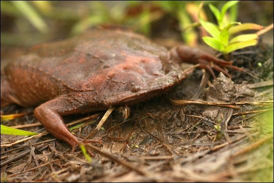 Le pipa pipa mesure 20 cm et peut vivre jusqu'à 8 ans. Les petits sortent de leur œuf qui est incrusté dans le dos de leur mère sans passer par le stade têtard.