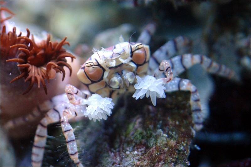 Quel est le nom de ce lybia tessellata (aussi appelé crabe à pompons) ?