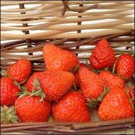 Si vous deviez porter cette fraise de collection en bijou, cela serait certainement en rapport avec ses vertus. La variété s'appelle :