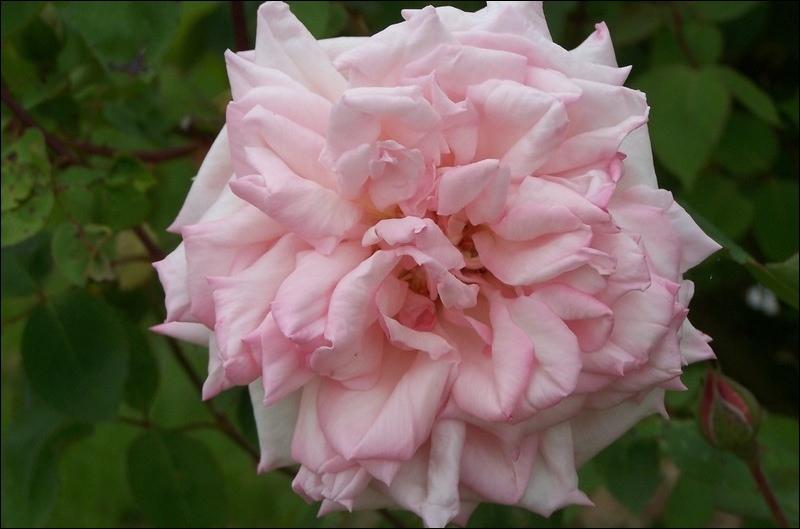 Commençons avec la plus belle des fleurs  la rose. Celle,ci porte le