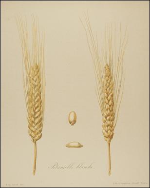 Gageons que cette espèce de blé, qui porte le nom du personnage ayant des manières élégantes et honnêtes, va s'approcher.