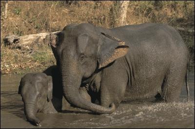 De quelle race est cet éléphant ?
