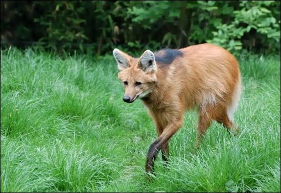 De quelle race est ce loup ?