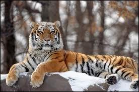 De quelle race est ce tigre ?