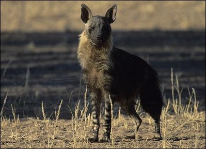 Quelle est cette espèce de hyène ?