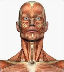 À quel niveau situez-vous les muscles zygomatiques ?