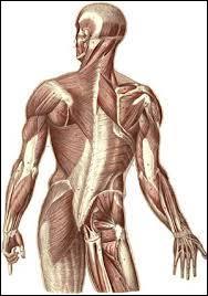 À quel niveau situez-vous le muscle hyo-glosse ?