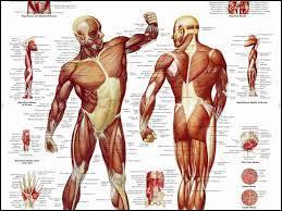 À quel niveau situez-vous le muscle triceps ?